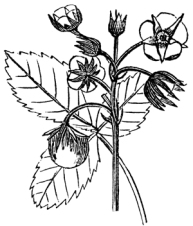 drawings-of-roses-5