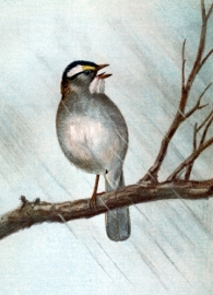 sparrow-images-6-white-throated-sparrow